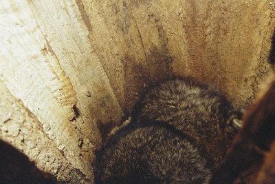 Zwei erwachsene Rüden liegen zusammen im hohlen Stamm einer Eiche