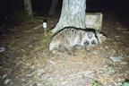 """Marderhund-Fotofallenbild1 """"Projekt Waschbär"""""""