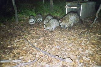 Fotofallenbild von sendermarkierter Waschbärfaehe mit ihrem Nachwuchs
