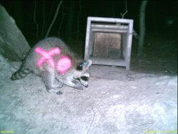 Fotofallenbild eines farbmarkierten Waschbären