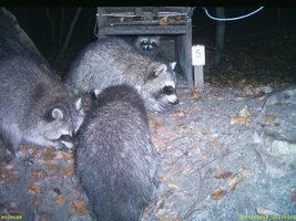 Fotofallenbild juveniler sendermarkierter Waschbären