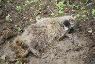 an Staupe verendeter Waschbär
