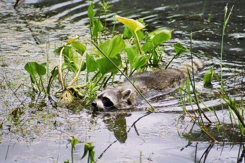 Waschbaer durchschwimmt ein Niedermoor