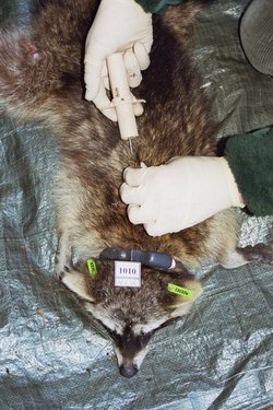Transponder-Markierung eines narkotisierten Waschbären