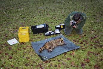 Fotografische Dokumentation eines narkotisierten Waschbären