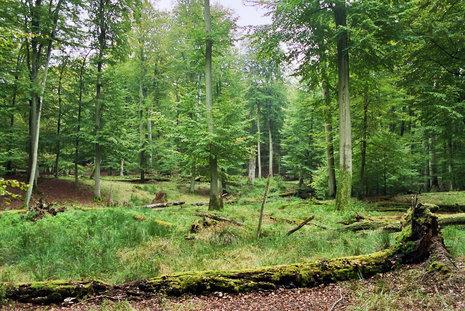 Serrahner Buchenwälder