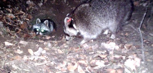 Fotofallenbild von Waschbären beim Verlassen eines Meliorationsrohres