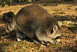 Raccoon in the Mueritz National Park Germany10