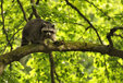 Raccoon in the Mueritz National Park Germany2