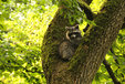 Raccoon in the Mueritz National Park Germany3