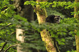 Raccoon in the Mueritz National Park Germany7