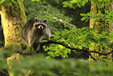 Raccoon in the Mueritz National Park Germany8