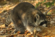 Raccoon in the Mueritz National Park Germany9