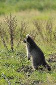 raccoon standing on a meadow