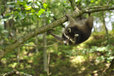 raccoon hanging down a branch