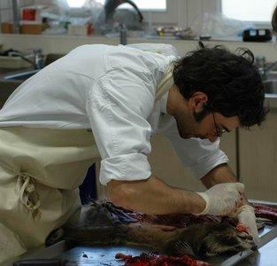 Pathologische Untersuchung eines Waschbären am IZW