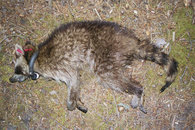 staupeinfizierter Waschbär im Müritz-Nationalpark