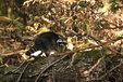 Waschbaer im Mueritz-Nationalpark2