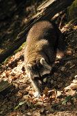 Waschbaer im Mueritz-Nationalpark 15