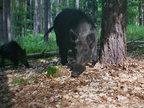 Wildschwein Wildkamera Projekt Waschbaer