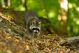 raccoon in the mueritz national park Germany 12