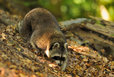 raccoon in the mueritz national park Germany 13