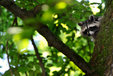 raccoon in the mueritz national park Germany 14